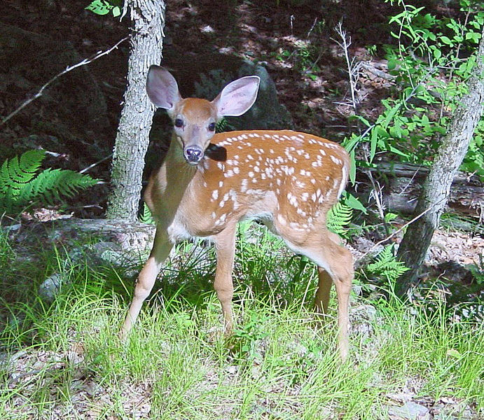 691px-Fawn_in_Forest_edit